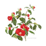 Camellia Greeting Card CAM/08-10