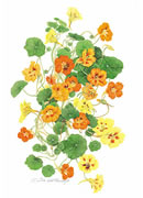 Nasturtiums Greeting Card NAS/06-5