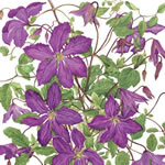 Clematis viticella detail Greeting Card CVCU/09-3
