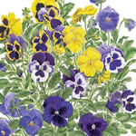 Pansy Patch detail Greeting Card PPCU/09-2