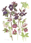 Hellebore Collection Greeting Card THC/08-3