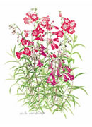 Penstemon Greeting Card P/08-7
