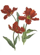 Red Parrot Tulip Greeting Card RPT/06-1